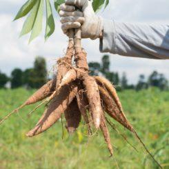 Cassava Benefits